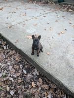 Belgian Shepherd Dog (Malinois) Puppies for sale in Nashville, TN, USA. price: NA