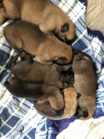 Belgian Shepherd Dog (Malinois) Puppies for sale in Red Bluff, CA 96080, USA. price: NA
