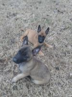 Belgian Shepherd Dog (Malinois) Puppies for sale in La Vergne, TN, USA. price: NA