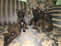 Belgian Shepherd Dog (Malinois) Puppies for sale in Kingsbury, IN, USA. price: NA