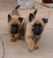 Belgian Shepherd Dog (Malinois) Puppies for sale in Menifee, CA 92584, USA. price: NA
