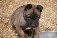 Belgian Shepherd Dog (Malinois) Puppies for sale in Noble, OK, USA. price: NA
