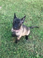 Belgian Shepherd Dog (Malinois) Puppies for sale in League City, TX 77573, USA. price: NA