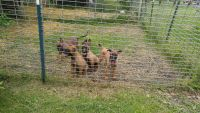 Belgian Shepherd Dog (Malinois) Puppies for sale in Melrose, OH, USA. price: NA