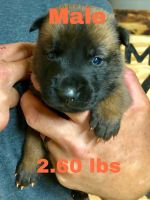 Belgian Shepherd Dog (Malinois) Puppies for sale in Prescott Valley, AZ, USA. price: NA