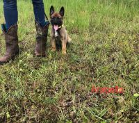 Belgian Shepherd Dog (Malinois) Puppies for sale in Punta Gorda, FL, USA. price: NA