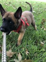 Belgian Shepherd Dog (Malinois) Puppies for sale in Wichita, KS, USA. price: NA