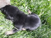 Belgian Shepherd Dog (Malinois) Puppies for sale in Yakima, WA, USA. price: NA