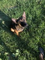 Belgian Shepherd Dog (Malinois) Puppies for sale in Columbus, OH, USA. price: NA