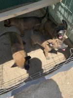 Belgian Shepherd Dog (Malinois) Puppies for sale in Oro Grande, CA 92368, USA. price: NA