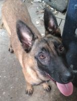 Belgian Shepherd Dog (Malinois) Puppies for sale in Houston, TX 77008, USA. price: NA