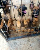Belgian Shepherd Dog (Malinois) Puppies for sale in Charlotte, NC, USA. price: NA