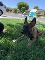 Belgian Shepherd Dog (Malinois) Puppies for sale in Las Vegas, NV, USA. price: NA