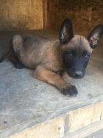 Belgian Shepherd Dog (Malinois) Puppies for sale in San Ysidro, CA 92173, USA. price: NA