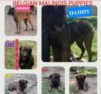 Belgian Shepherd Dog (Malinois) Puppies for sale in Bakersfield, CA 93307, USA. price: NA