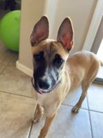 Belgian Shepherd Dog (Malinois) Puppies for sale in Buckeye, AZ, USA. price: NA