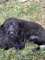 Belgian Shepherd Dog (Malinois) Puppies for sale in Winston-Salem, NC, USA. price: NA