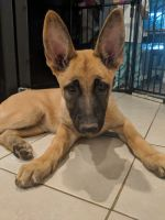 Belgian Shepherd Dog (Malinois) Puppies for sale in Sacramento, CA, USA. price: NA