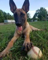 Belgian Shepherd Dog (Malinois) Puppies for sale in Baytown, TX, USA. price: NA