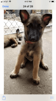 Belgian Shepherd Dog (Malinois) Puppies for sale in Aurora, IL, USA. price: NA