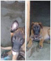 Belgian Shepherd Dog (Malinois) Puppies for sale in Colton, CA, USA. price: NA