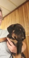 Belgian Shepherd Dog (Malinois) Puppies for sale in Childress, TX 79201, USA. price: NA