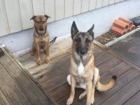 Belgian Shepherd Dog (Malinois) Puppies for sale in Alamo Heights, TX 78209, USA. price: NA