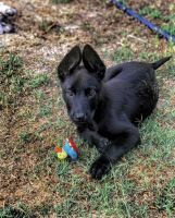 Belgian Shepherd Dog (Malinois) Puppies for sale in 32604 Tyndall Rd, Wesley Chapel, FL 33545, USA. price: NA