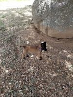 Belgian Shepherd Dog (Malinois) Puppies for sale in Julian, CA 92036, USA. price: NA