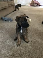 Belgian Shepherd Dog (Malinois) Puppies for sale in Elmira, NY, USA. price: NA