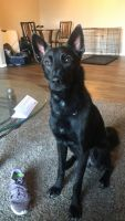 Belgian Shepherd Dog (Malinois) Puppies for sale in Beech Grove, IN, USA. price: NA