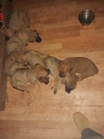 Belgian Shepherd Dog (Malinois) Puppies for sale in Redding, CA, USA. price: NA