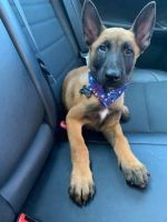 Belgian Shepherd Dog (Malinois) Puppies for sale in Skokie, IL, USA. price: NA