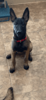 Belgian Shepherd Dog (Malinois) Puppies for sale in Palmhurst, TX, USA. price: NA