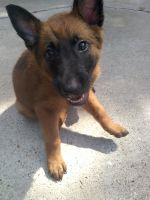 Belgian Shepherd Dog (Malinois) Puppies for sale in Fort Worth, TX, USA. price: NA