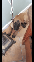Belgian Shepherd Dog (Malinois) Puppies for sale in San Bruno, CA, USA. price: NA