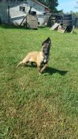 Belgian Shepherd Dog (Malinois) Puppies for sale in West Union, OH 45693, USA. price: NA