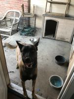 Belgian Shepherd Dog (Malinois) Puppies for sale in Red Oak, TX, USA. price: NA