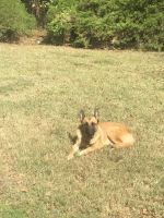 Belgian Shepherd Dog (Malinois) Puppies for sale in Columbus, GA, USA. price: NA