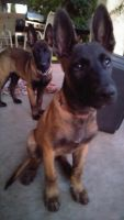 Belgian Shepherd Dog (Malinois) Puppies for sale in Las Vegas, NV 89131, USA. price: NA