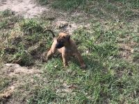 Belgian Shepherd Dog (Malinois) Puppies for sale in Elberta, AL 36530, USA. price: NA