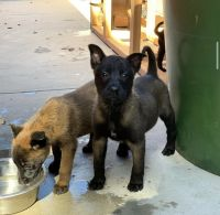 Belgian Shepherd Dog (Malinois) Puppies for sale in Torrance, CA, USA. price: NA