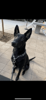 Belgian Shepherd Dog (Malinois) Puppies for sale in 8583 Aero Dr, San Diego, CA 92123, USA. price: NA