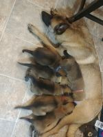 Belgian Shepherd Dog (Malinois) Puppies for sale in Lakeville, OH 44638, USA. price: NA