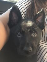 Belgian Shepherd Dog (Malinois) Puppies for sale in Moreno Valley, CA 92557, USA. price: NA
