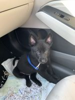 Belgian Shepherd Dog (Malinois) Puppies for sale in Riverside, CA, USA. price: NA