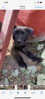 Belgian Shepherd Dog (Malinois) Puppies for sale in Compton, CA, USA. price: NA