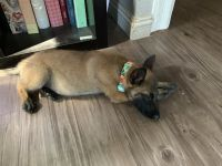 Belgian Shepherd Dog (Malinois) Puppies for sale in Los Angeles, CA 90022, USA. price: NA