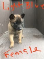 Belgian Shepherd Dog (Malinois) Puppies for sale in Brownsville, TX, USA. price: NA