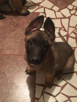 Belgian Shepherd Dog (Malinois) Puppies for sale in East Palo Alto, CA, USA. price: NA
